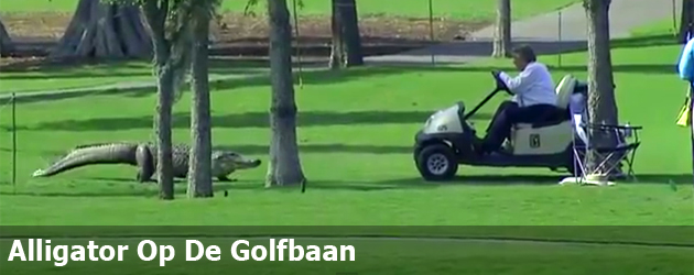 Alligator Op De Golfbaan