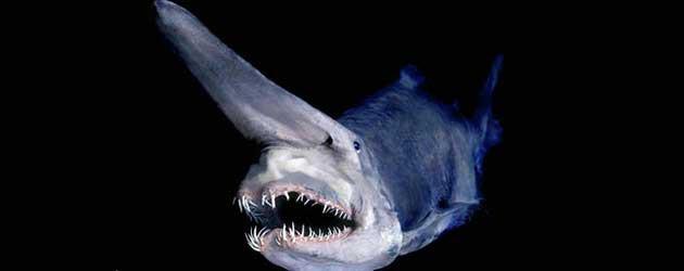 Heb Jij Wel Eens Een Goblin Shark Gezien?