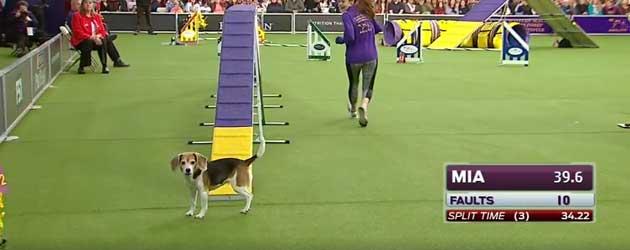 Mia The Beagle Is Echt Heel Gemakkelijk Afgeleid