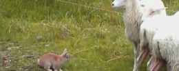 Champis Het Schaapsherderkonijn