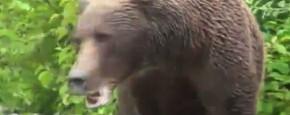 Grizzly Beer Houdt Niet Van Paparazzi