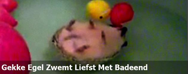 Gekke Egel Zwemt Liefst Met Badeend