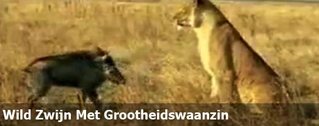 Wild Zwijn Met Grootheidswaanzin