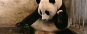 De Niezende Panda