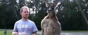 De Supergespierde Kangoeroe