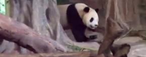Dit Is Dus Een Rot Panda!