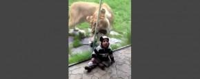 Leeuw Denkt Dat Baby Zebra Is