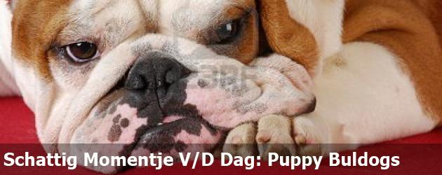 Schattig Momentje Van De Dag: Puppy Buldogs