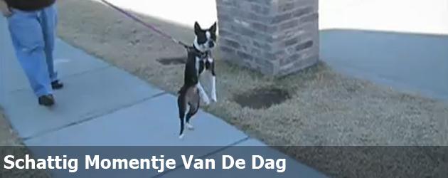 Schattig Momentje Van De Dag; hond loopt als mens