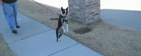 Schattig Momentje Van De Dag: Hond Loopt Op Twee Benen
