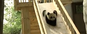 Schattig Momentje Van De Dag: Panda's op de glijbaan