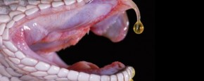 Wat Doet Slangengif Met Je Bloed?