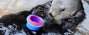 Schattig Momentje Van De Dag: Nellie De Otter Stapelt Graag Kopjes