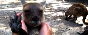 Schattig Momentje Van De Dag; kangoeroe geniet enorm van kriebelen