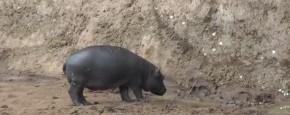 Hippo Is Doodsbang Voor Vlinders
