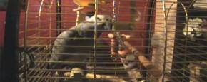 Internethit: De Zet Die Plaat Af Papegaai