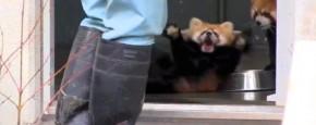 Rode Panda Schrikt Zich Een Hoedje