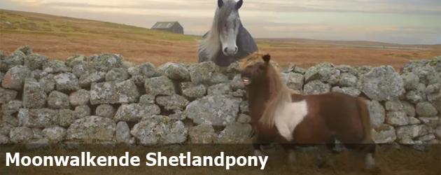 Moonwalkende Shetlandpony