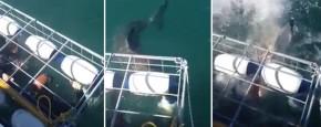 Help! Een Witte Haai Breekt Door De Kooi