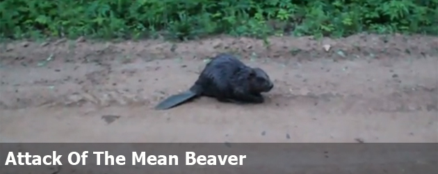 Attack Of The Mean Beaver