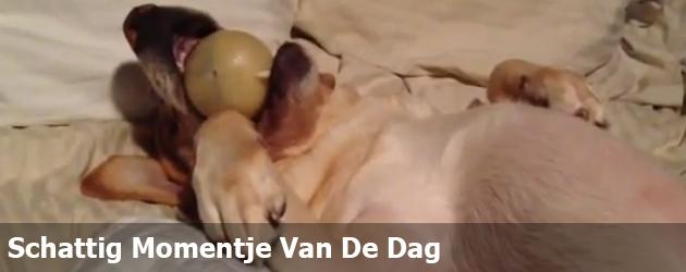 Schattig Momentje Van De Dag; hond valt in slaap met bal