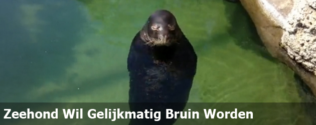 Zeehond Wil Gelijkmatig Bruin Worden