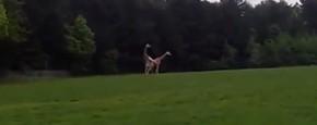 Vrijpartij Giraffen Gaat Helemaal Mis