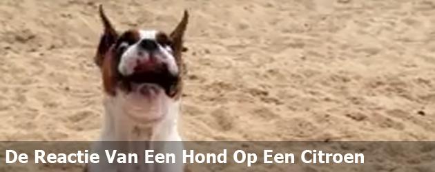 De Reactie Van Een Hond Op Een Citroen