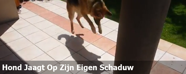 Hond Jaagt Op Zijn Eigen Schaduw
