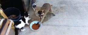 Wasbeer Steelt Heel Onopvallend Kattenvoer