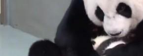 altijd-prutsfm-Een-Panda-Baby-Reunie-post