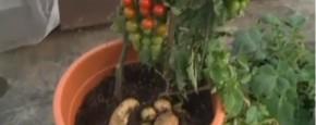 Plant Maakt Tomaten En Aardappelen Tegelijk