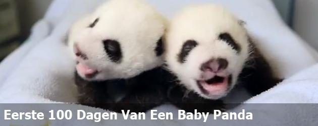 Eerste 100 Dagen Van Een Baby Panda