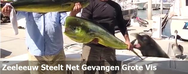 Zeeleeuw Steelt Net Gevangen Grote Vis