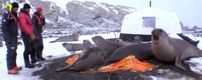 Een Stapel Zeeolifanten Op Je Tent