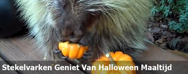 Stekelvarken Geniet Van Halloween Maaltijd