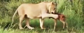 Kalf Los Gelaten Als Prooi Voor Leeuw