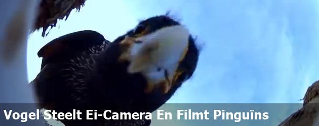 Vogel Steelt Ei-Camera En Filmt Pinguïns