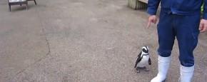 En Dan Nu, De Volg Pinguïn!