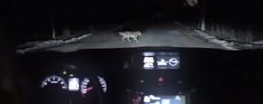 Hond Steelt Auto