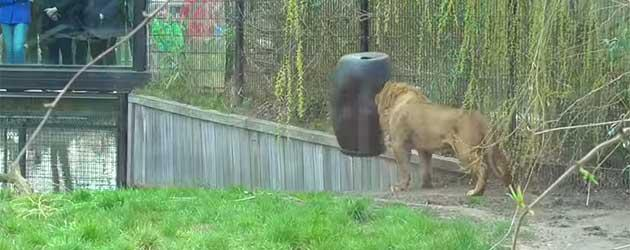 Domme Leeuw Zit Vast In Voederton