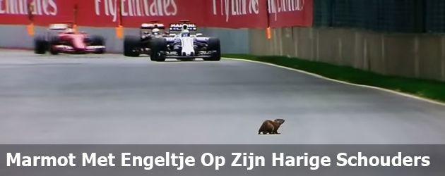 Marmot Met Engeltje Op Zijn Harige Schouders