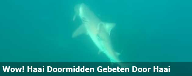 Wow! Haai Doormidden Gebeten Door Andere Veel Grotere Haai