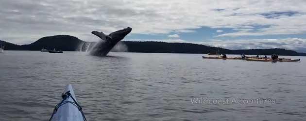 Kajakkers verrast door enorme Bultrugwalvis