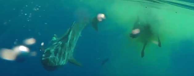 Raar! Haai Eet Koe Middenin De Oceaan