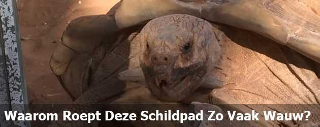 Waarom Roept Deze Schildpad Zo Vaak Wauw?