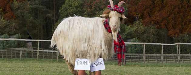 Deze Schotse geit voorspelt de nieuwe president van Amerika
