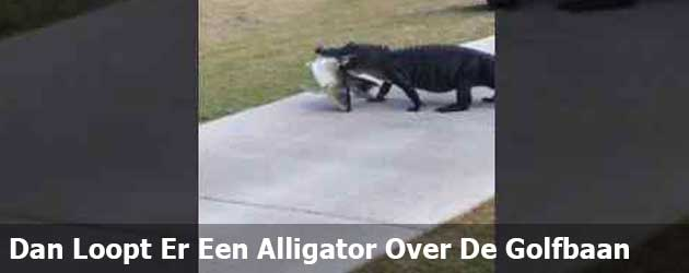 Dan Loopt Er Een Alligator Over De Golfbaan