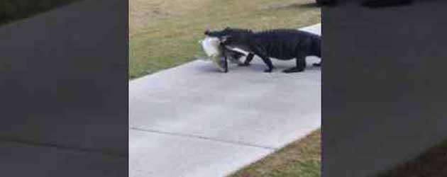 Dan Loopt Er Een Alligator Over De Golfbaan