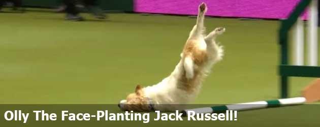 En Dan Nu! Olly The Face-Planting Jack Russell!